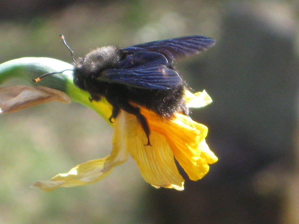 Schwarze Bienen 7.3.21 01
