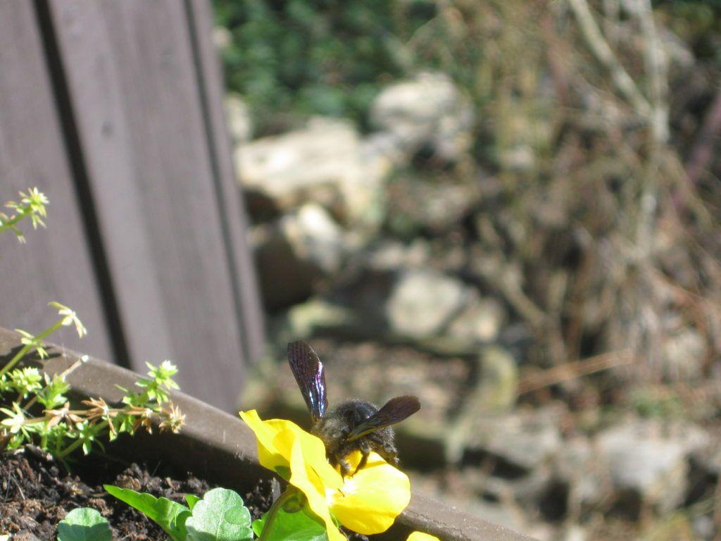 Schwarze Bienen 7.3.21 03