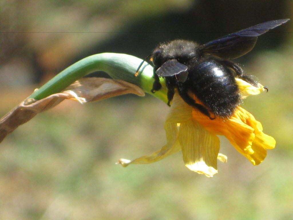 Schwarze Bienen 7.3.21 07