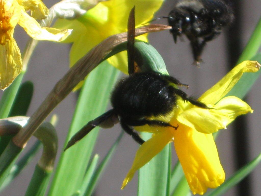 Schwarze Bienen 7.3.21 11