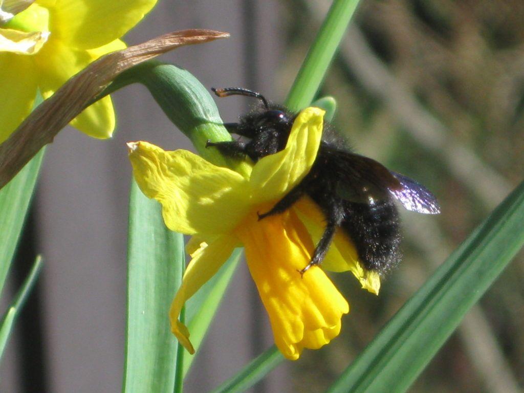 Schwarze Bienen 7.3.21 13