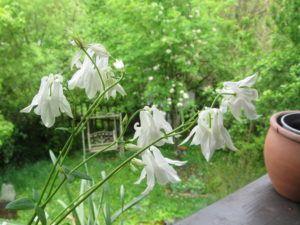 Akeleien Wilde Schönheiten 11