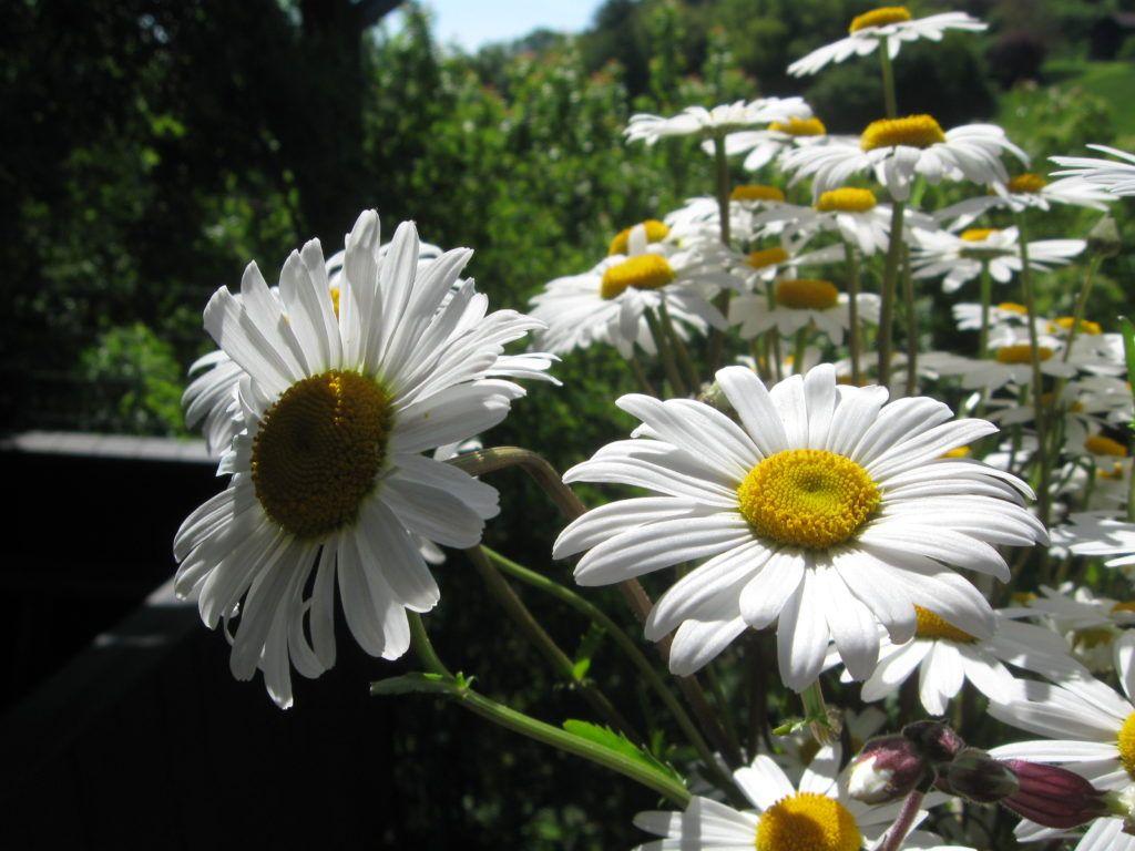 Weiße Schönheiten Margeriten 03