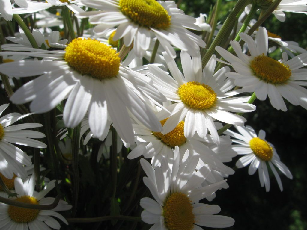 Weiße Schönheiten Margeriten 04