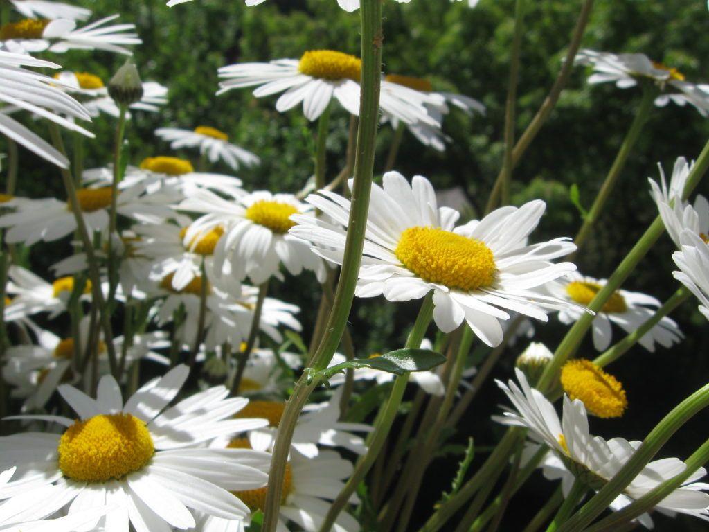 Weiße Schönheiten Margeriten 05