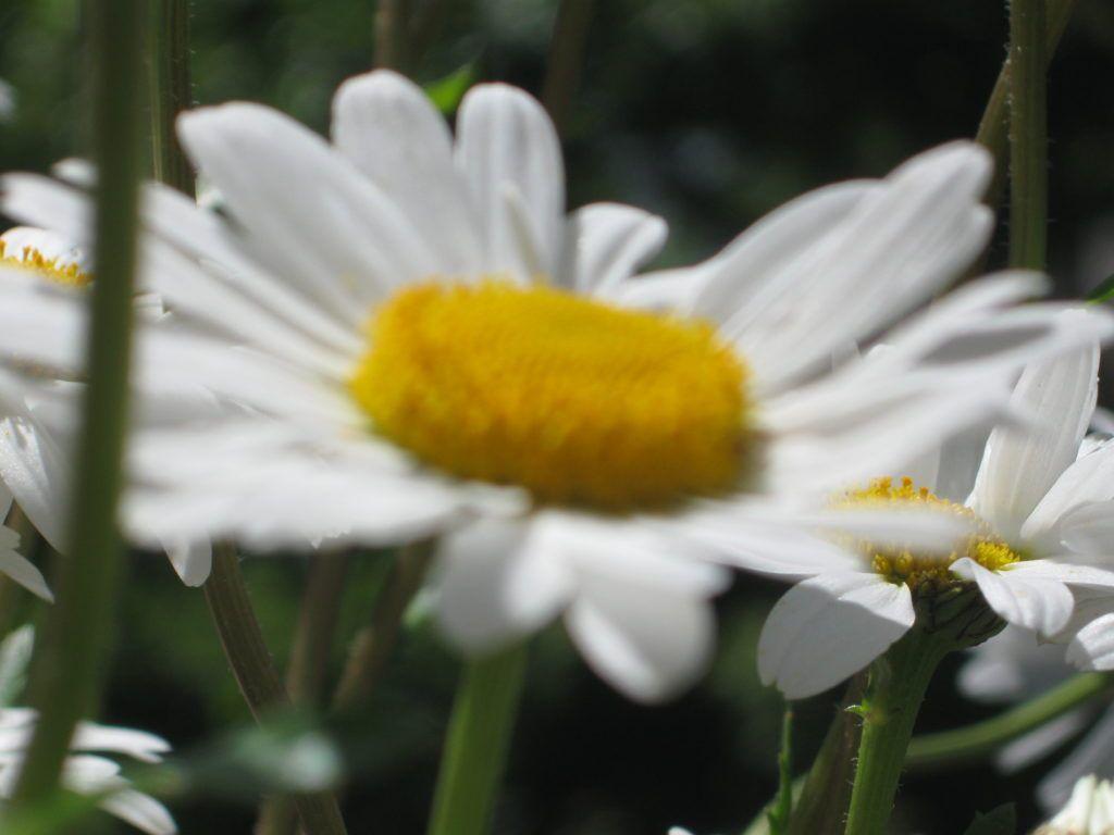 Weiße Schönheiten Margeriten 06