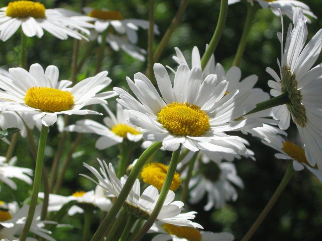 Weiße Schönheiten Margeriten 11