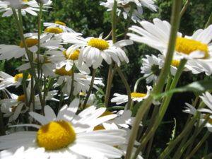 Weiße Schönheiten Margeriten 13