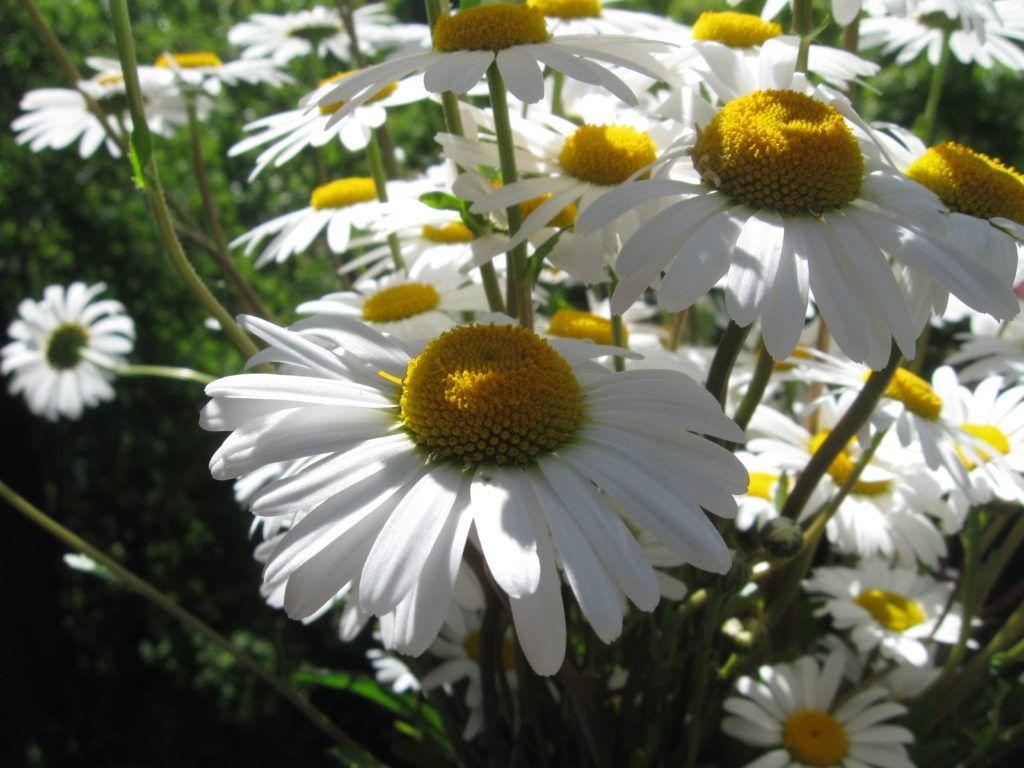 Weiße Schönheiten Margeriten 15