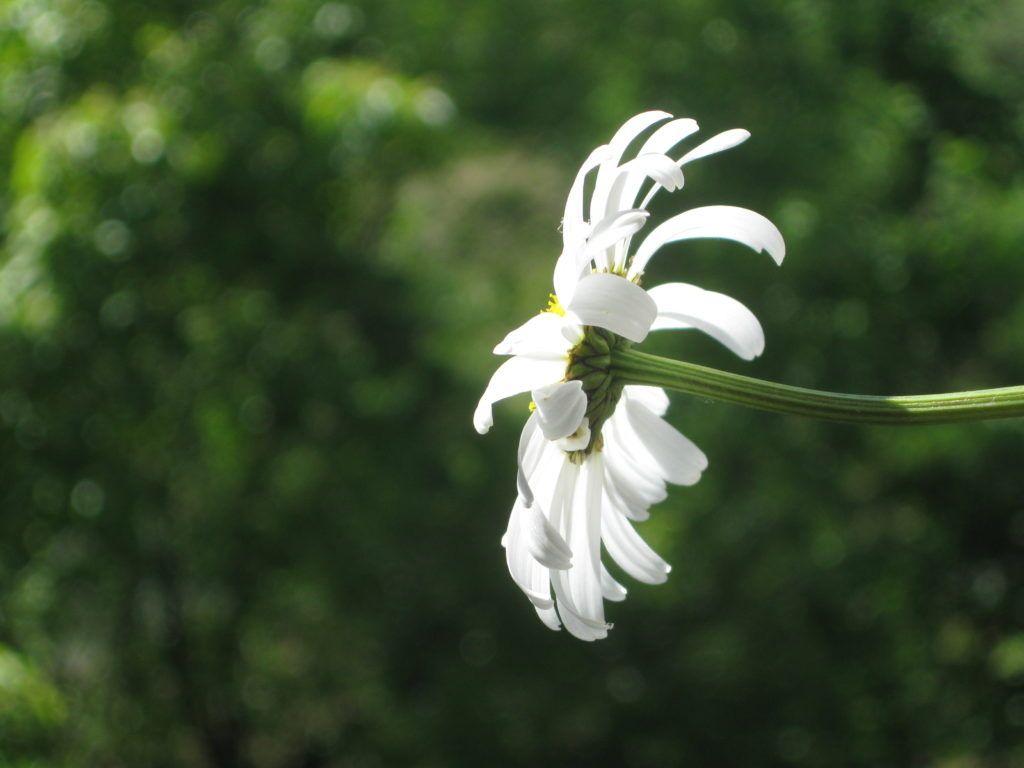 Weiße Schönheiten Margeriten 17