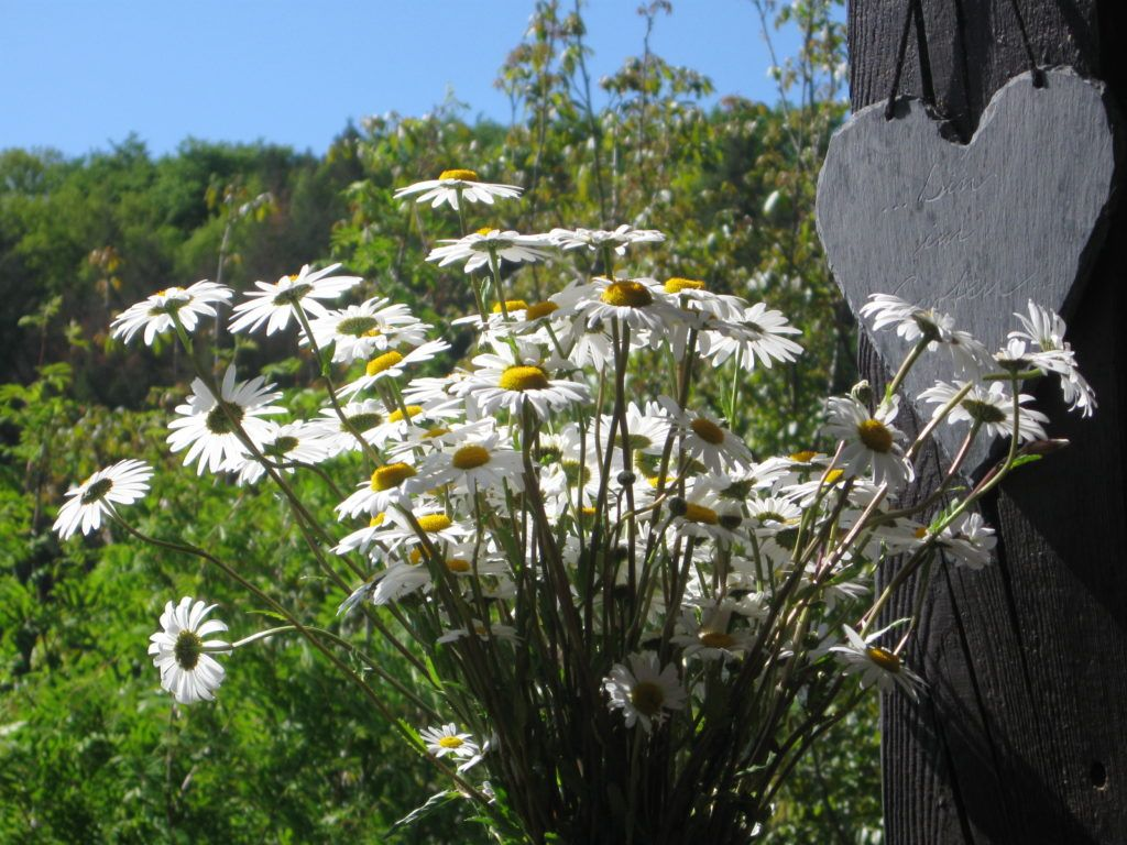 Weiße Schönheiten Margeriten 22