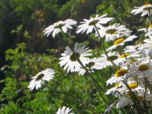 Weiße Schönheiten Margeriten 23