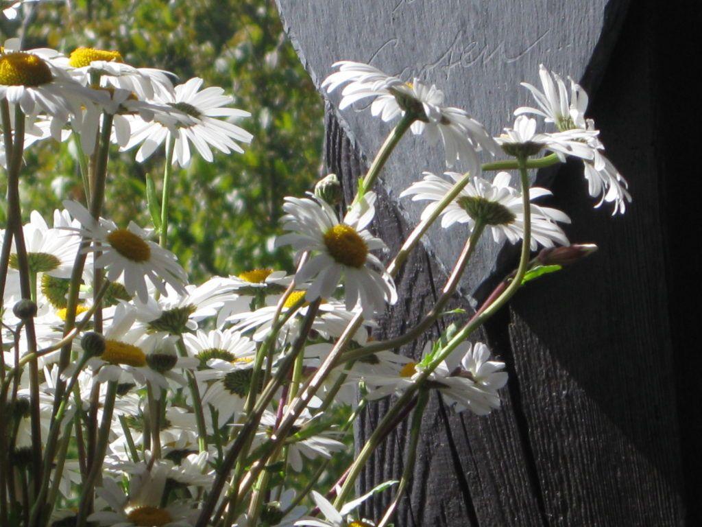 Weiße Schönheiten Margeriten 24