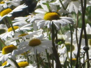 Weiße Schönheiten Margeriten 25