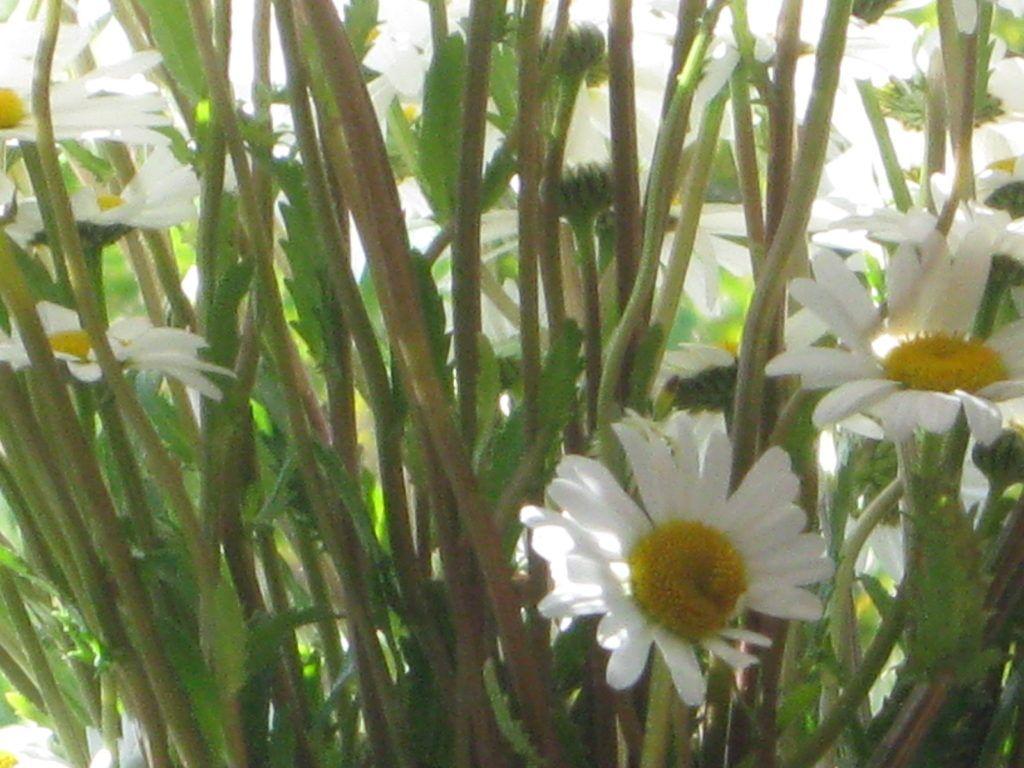 Weiße Schönheiten Margeriten 27