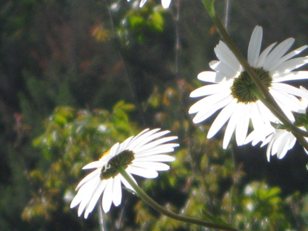 Weiße Schönheiten Margeriten 28