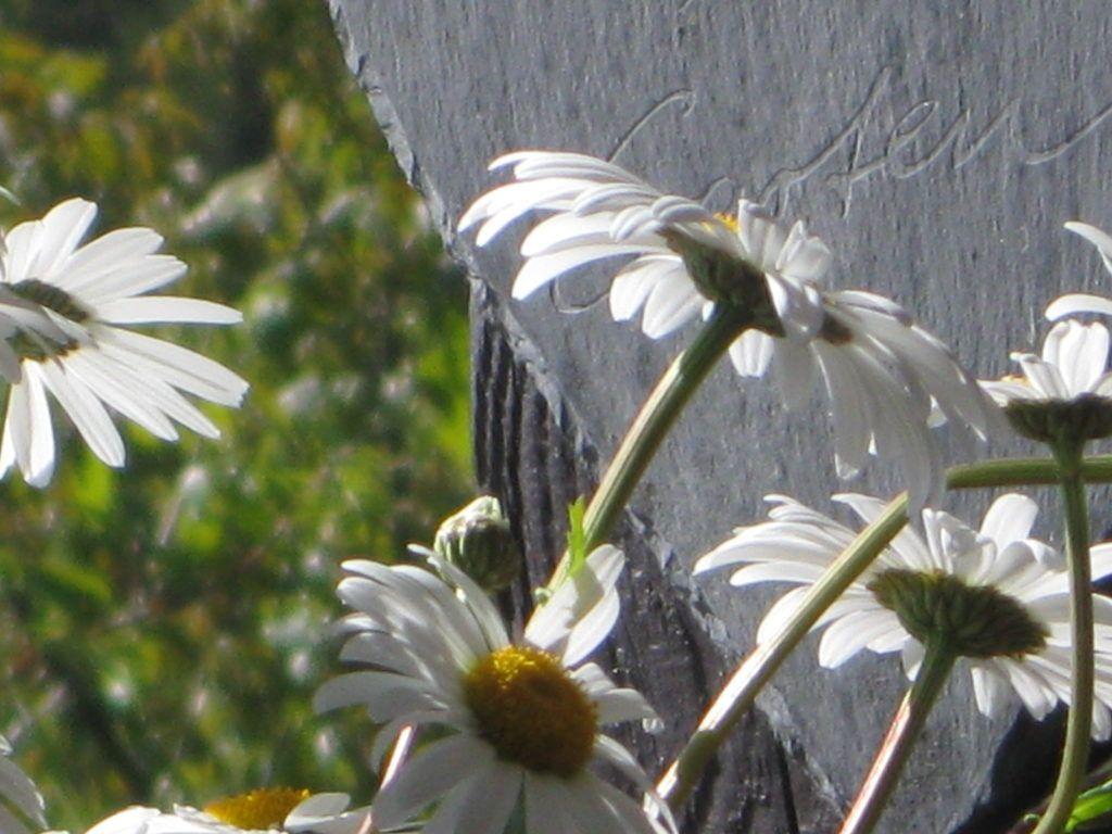 Weiße Schönheiten Margeriten 29