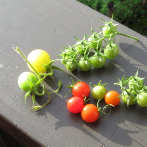 Tomaten Ernte 18