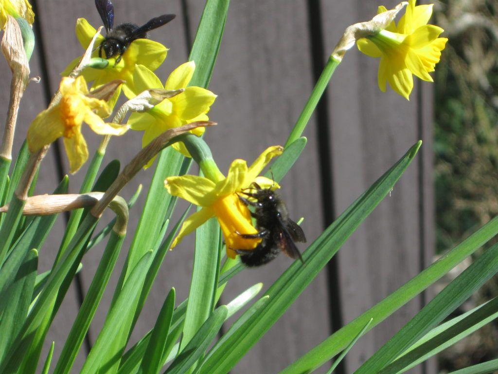 Schwarze Bienen 7.3.21 09