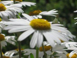 Weiße Schönheiten Margeriten 07
