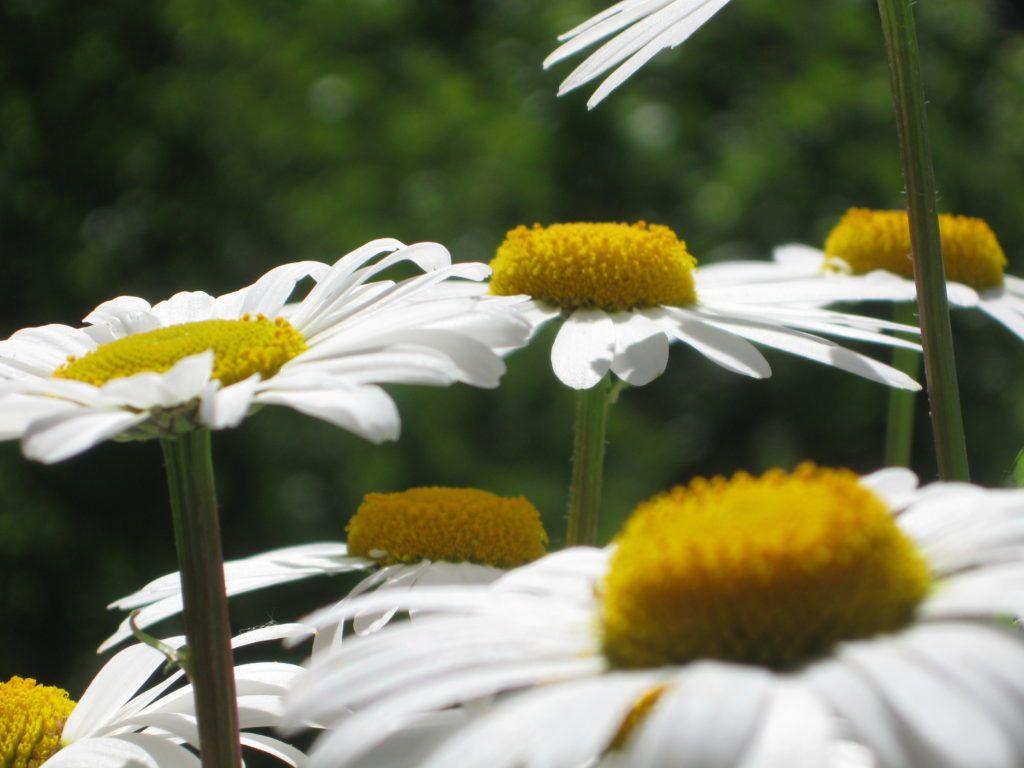 Weiße Schönheiten Margeriten 08