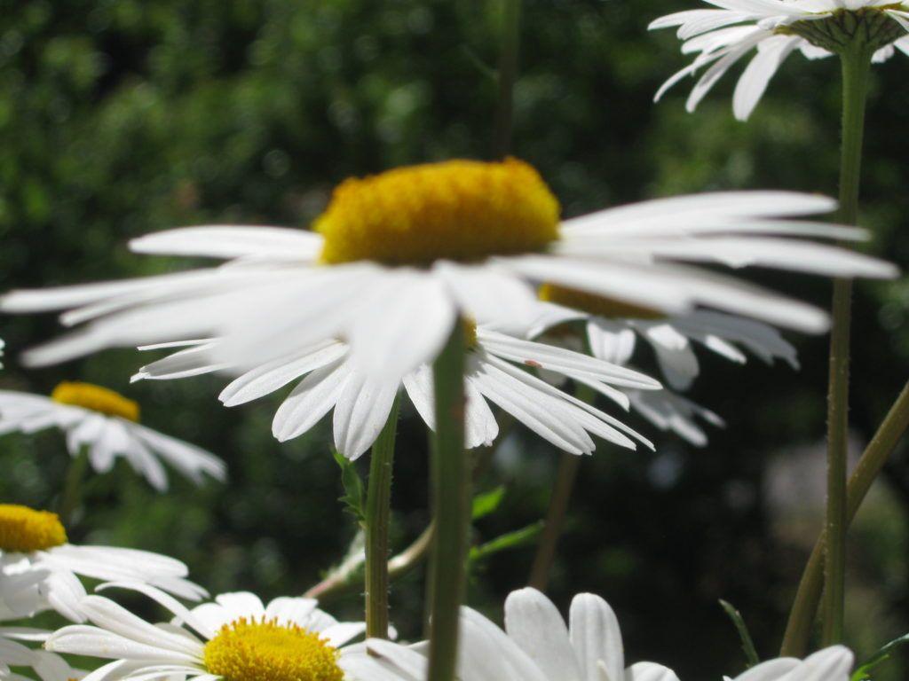 Weiße Schönheiten Margeriten 09