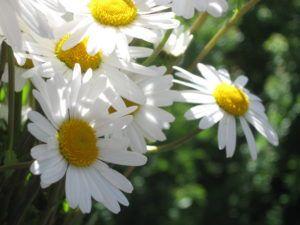 Weiße Schönheiten Margeriten 10