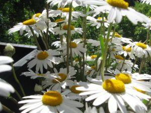 Weiße Schönheiten Margeriten 12