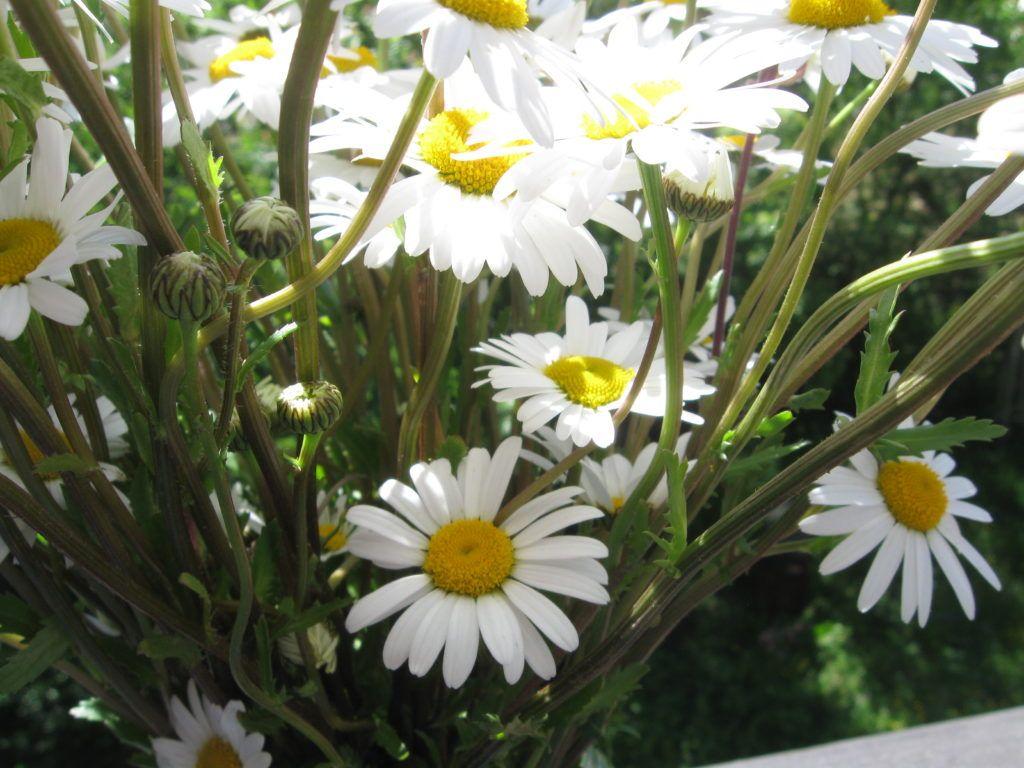 Weiße Schönheiten Margeriten 14