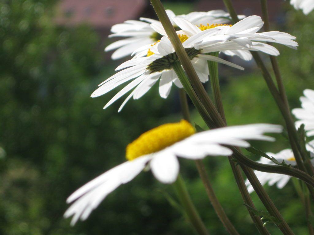 Weiße Schönheiten Margeriten 18