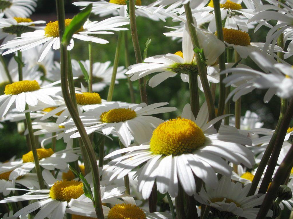 Weiße Schönheiten Margeriten 19