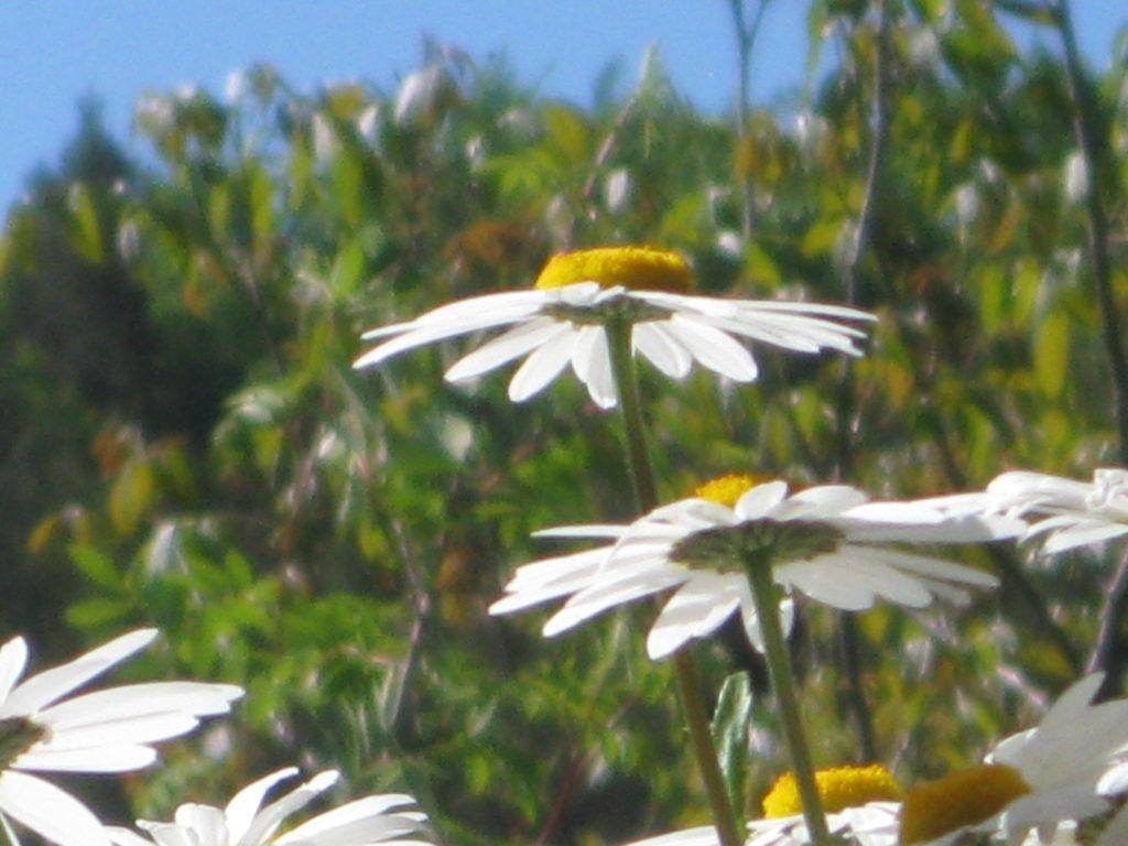 Weiße Schönheiten Margeriten 26